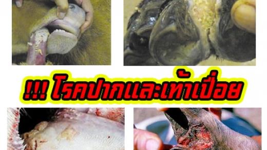 โรคปากและเท้าเปื่อย (Foot and Mouth Disease)
