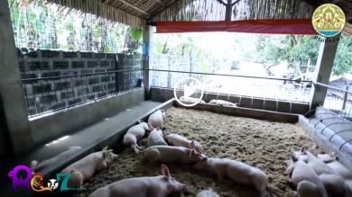 หลักเกณฑ์การตรวจประเมินฟาร์มหมูหลุม ปลอดการใช้ยาปฏิชีวนะ